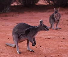 Bridled nail-tail wallaby (Onychogalea fraena)