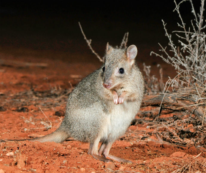 The brush-tailed bettong or woylie (Bettongia penicillata) is presumed extinct in New South Wales