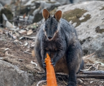 Brush-tailed rock-wallabies (Petrogale penicillata)