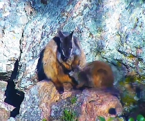 Rock-wallaby (Petrogale) cam