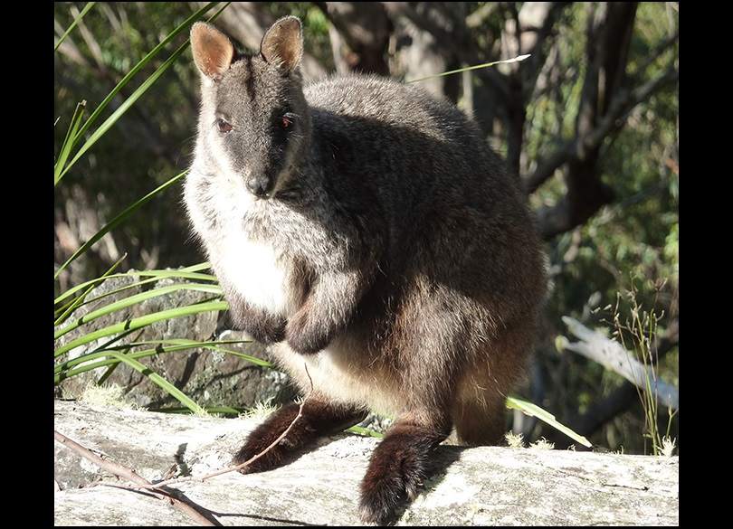 Kangaroos Wallabies Pademelons Bettongs And Potoroos Nsw Environment Energy And Science