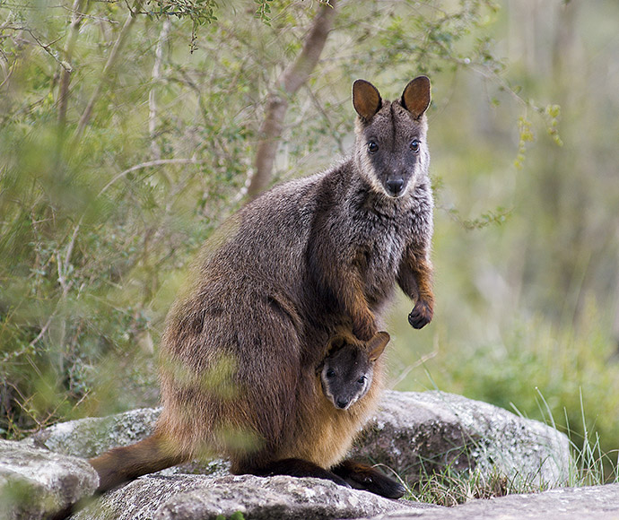Brush-tailed rock-wallaby (Petrogale penicillata) is endangered in NSW