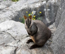 Brush-tailed rock-wallaby (Petrogale penicillata) at Jenolan Caves