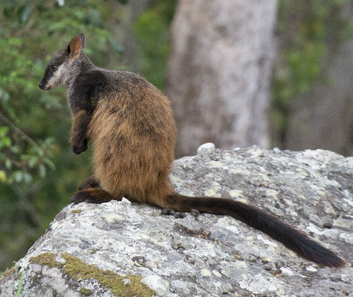 Brush-tailed Rock-wallaby (Petrogale penicillata), endangered species.