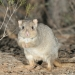 Burrowing bettong (Bettongia lesueur)
