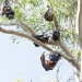 Grey-headed flying-fox colony (Pteropus poliocephalus), vulnerable species