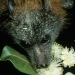 Grey headed flying-fox (Pteropus poliocephalus) and native flowers
