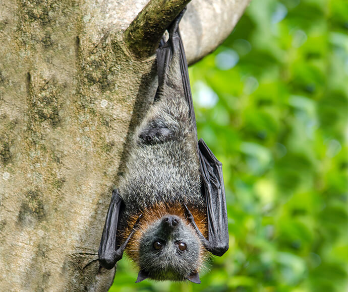 Grey-headed flying-fox are an important part of the ecological system