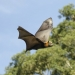 Grey-headed flying-fox (Pteropus poliocephalus) in flight