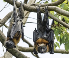 Grey-headed flying foxes (Pteropus poliocephalus) in trees