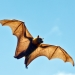 Grey-headed Flying-fox (Pteropus poliocephalus) in full flight