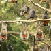 Grey-headed flying-foxes (Pteropus poliocephalus) roosting