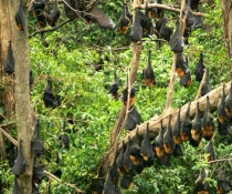 Grey-headed flying-foxes (Pteropus poliocephalus), colony roosting
