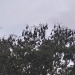 Grey-headed flying-foxes (Pteropus poliocephalus) roosting in Lachlan Swamp, Centennial Park