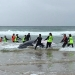 Humpback whale (Megaptera novaeangliae) beached, with rescuers, at Sawtell 9 June 2017