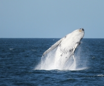 Humpback whale (Megaptera novaeangliae) breaching, vulnerable species