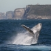 Humpback whale (Megaptera novaeangliae) breaching off the coast of Sydney