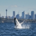 Breaching humpback whale (Megaptera novaeangliae), South Head, Sydney Harbour National Park