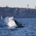 Humpback whale (Megaptera novaeangliae) off the coast of Sydney with Centrepoint Tower in the background