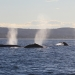Humpback whales (Megaptera novaeangliae) spouting near the coast