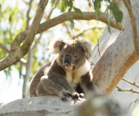 NSW Government protects South Coast koalas and local timber industry