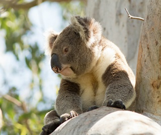 Koala | NSW Environment, Energy and Science on