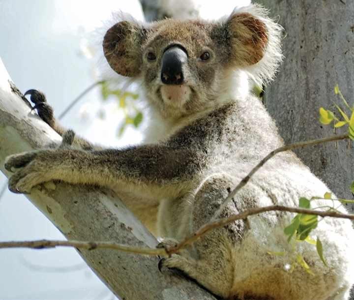 Young koala (Phascolarctos cinereus) in Red Rum Forest, Lismore