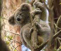 Koala (Phascolarctos cinereus) in a tree