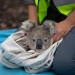 Dr Kellie Leigh with koala (Phascolarctos cinereus) in a bag, ready for release, Blue Mountains Koala Project