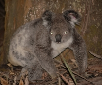 Bongil Bongil community koala survey project