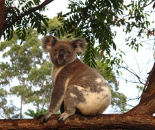 Koala (Phascolartos cinereus) sitting on a branch
