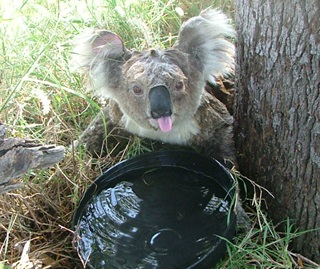 Distressed female koala (Phascolarctos cinereus) drinking water during a heatwave, Gunnedah research centre