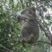 Koala (Phascolarctos cinereus) at Murrah Flora Reserves