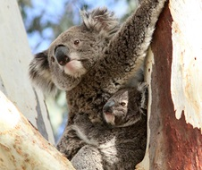 Koala, Phascolarctos cinereus in tree river red gum