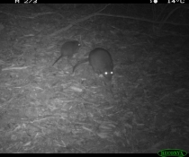 Night-time image of long-nosed potaroo from a remote sensor camera.