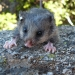 The mountain pygmy possum (Burramys parvus) is threatened in NSW