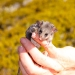 Mountain pygmy-possum (Burramys parvus) at Charlotte Pass, Kosciuszko National Park