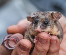 Mountain pygmy-possum (Burramys parvus) after the Kosciuszko fires