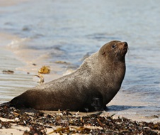 New Zealand fur seal (Arctocephalus forsteri), protected vulnerable species