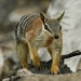 The numbat (Myrmecobius fasciatus) is presumed extinct in New South Wales