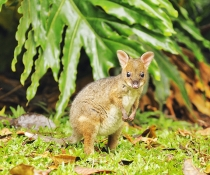 Red-legged pademelon, young joey (Thylogale stigmatica)