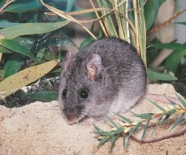Smoky Mouse (Pseudomys fumeus), critically endangered