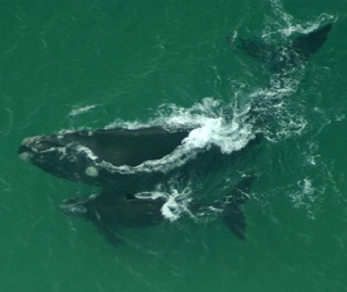 Southern right whale, mother and calf