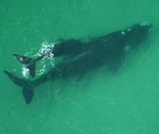 Southern right whale (Eubalaena australis), mother and calf