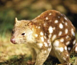Spotted-tail quoll | NSW Environment, Energy and Science