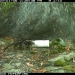 Spotted-tailed quoll (Dasyurus maculatus) caught on remote camera