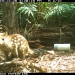 Spotted-tailed quoll (Dasyurus maculatus) caught on remoted camera