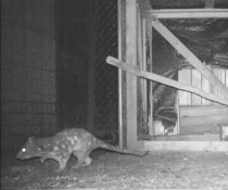 Spotted-tailed quoll (Dasyurus maculatus), near a chook pen, Tilbuster