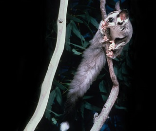 Squirrel gliders are listed as a vulnerable species in NSW