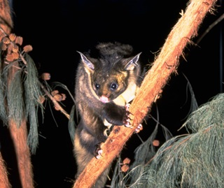 Yellow bellied glider (Petaurus australis)